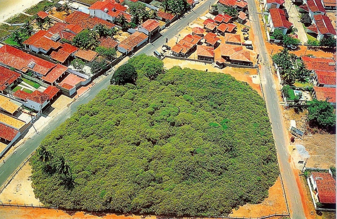 Thousand year old world s largest cashew tree maior cajueiro do